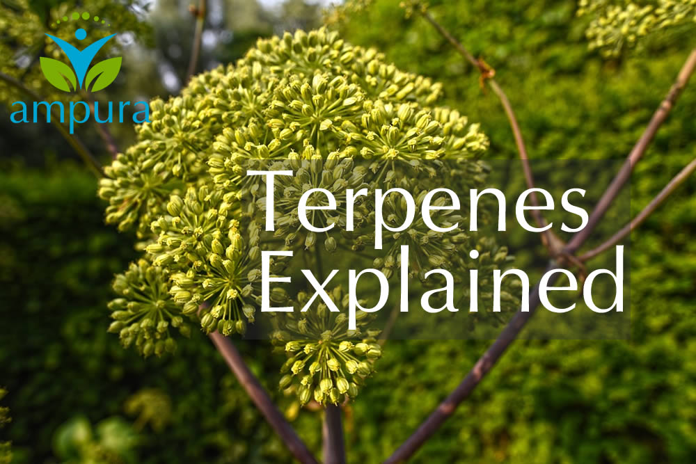 What Are Terpenes - Garden Angelica - Ampura